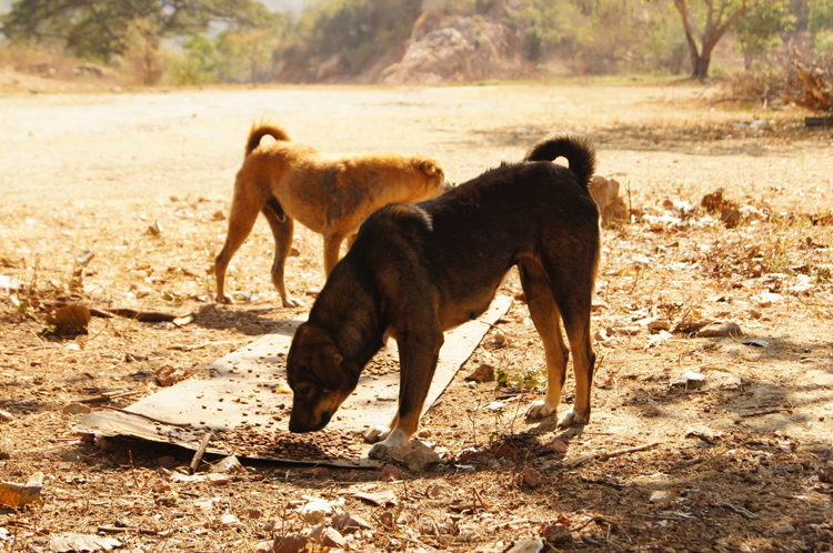 dogs-in-thailand-feeding-time
