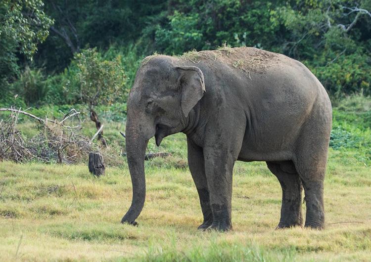 elephant-in-sri-lanka