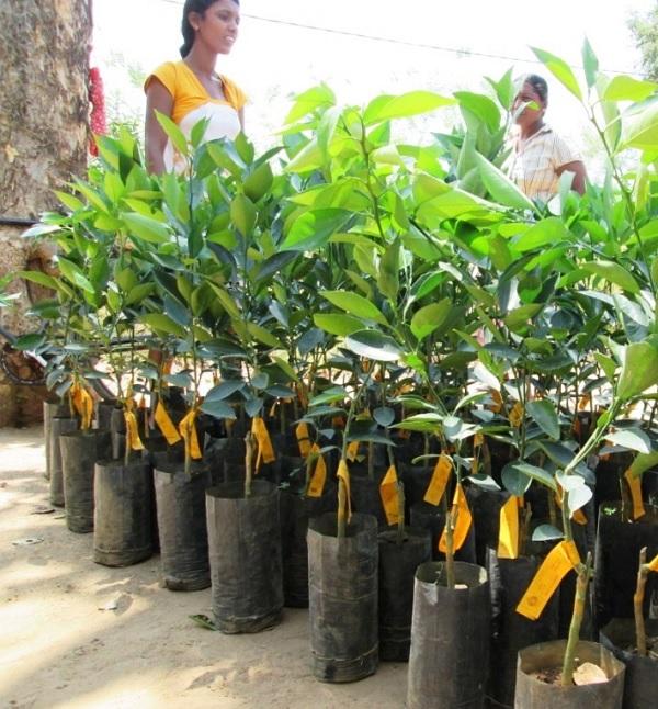 farmers-with-orange-saplings