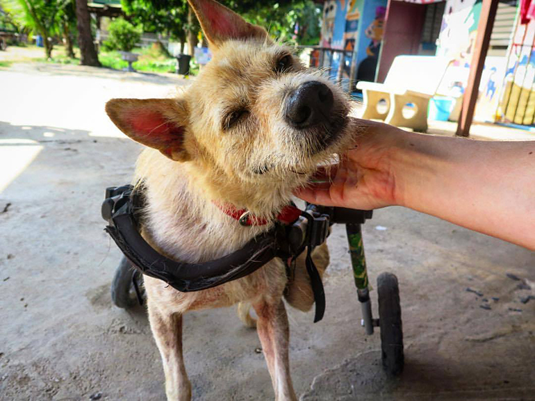 A dog uses a wheelchair in Thailand.